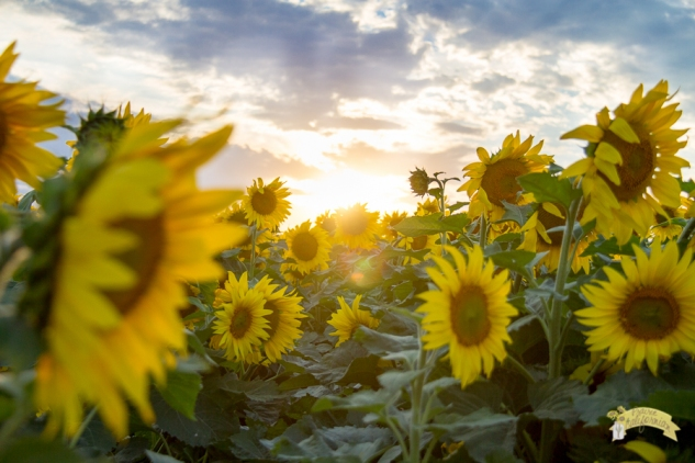 Sunflowers-Crops-27
